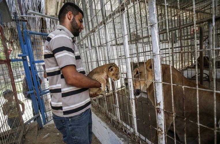 Een verzorger toont een van de welpen aan de leeuwin.