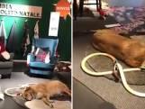 Italiaanse Ikea laat zwerfhonden in winkel overnachten