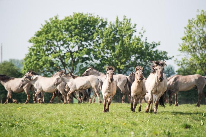 Wilde grazers worden los gelaten in de Gendtse polder.