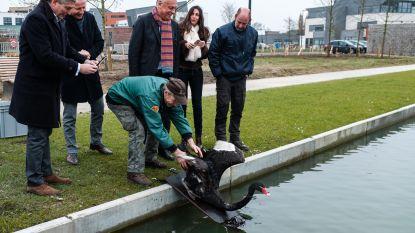 Zwarte zwaan één dag na terugkeer dood aangetroffen