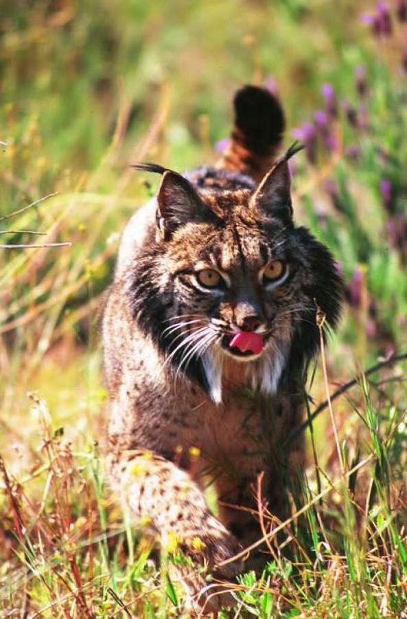 De zeldzame Iberische lynx.
