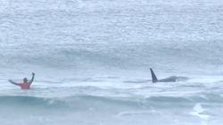 VIDEO: Orka's op zoek naar prooi verstoren surfwedstrijd, surfer maakt zich snel uit de voeten