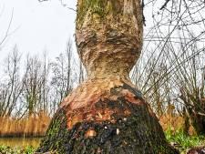 Gemeente maakt klusje van bevers af: gesloopte boom Ossermeer gaat om