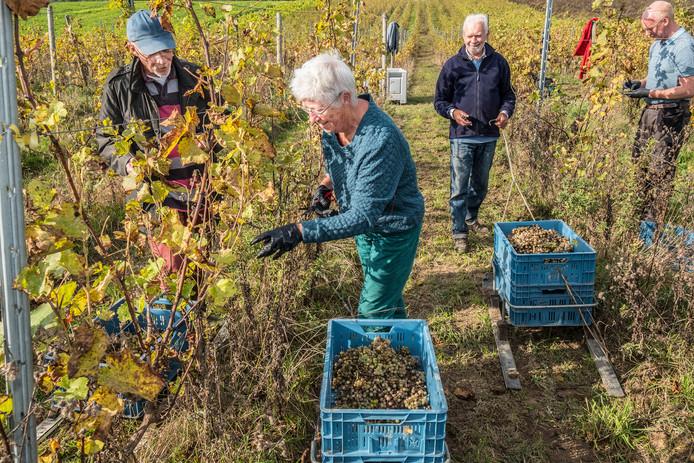 Druivenplukkers bezig met het plukken van de druiven in wijngaard De Colonjes in Groesbeek.