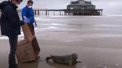 """VIDEO. Seppe is eerste zeehond die vrijgelaten wordt in coronatijden: """"Afstand bewaren en geen adoptieouders toegestaan"""""""