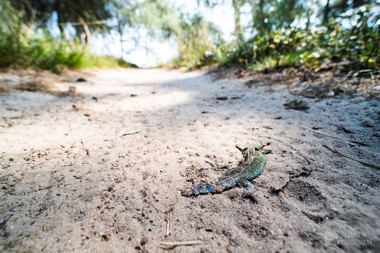 Een doodgereden zandhagedis op de Sprengenberg, een deel van de Sallandse Heuvelrug. Beeld Albert van de Maat