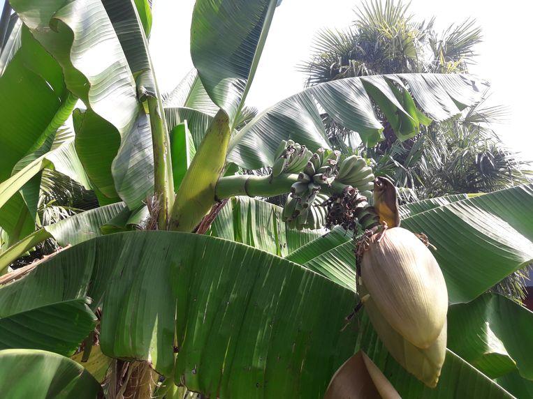 Bananen in bloei in Bornem.