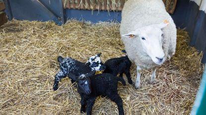 Drie lammetjes geboren in stalletje tijdens kerstnacht
