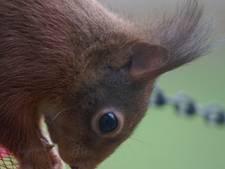 Eekhoorn vindt in voedertafel Zenderen het perfecte 'restaurant'