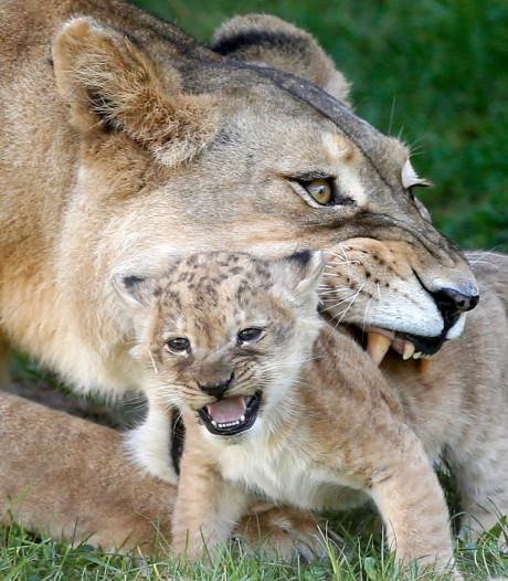 Man opgepakt na vondst leeuwenwelp in appartement in Parijs
