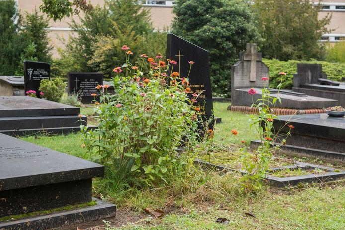 Een klein stukje ecologisch beheer tussen de graven op kerkhof St. Petrus in Eindhoven.