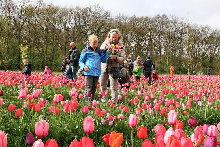 In het voorjaar van 2019 kan iedereen opnieuw een gratis bosje tulpen komen plukken