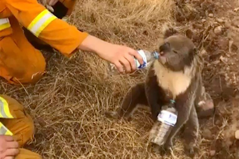 Een koala drinkt water uit een flesjes dat een brandweerman hem aanbiedt.