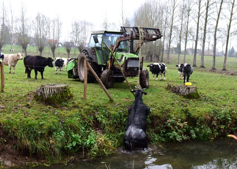 Voorzichtig trekt de landbouwer de koe uit de Markrivier