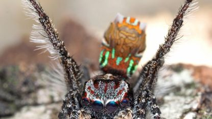Reeks superschattige spinnetjes ontdekt in Australië