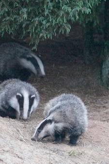 Bewoonde dassenburchten ontdekt in Buurserzand, vos lijkt gevlogen