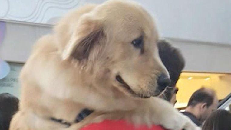 video grote hond met klein hartje golden retriever durft roltrap niet op dus dan doet baasje. Black Bedroom Furniture Sets. Home Design Ideas
