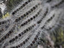 Midden-Delfland gaat rups preventief te lijf