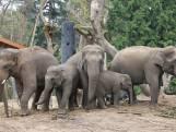 Verzorgers slapen tussen de olifanten in afwachting van bevalling