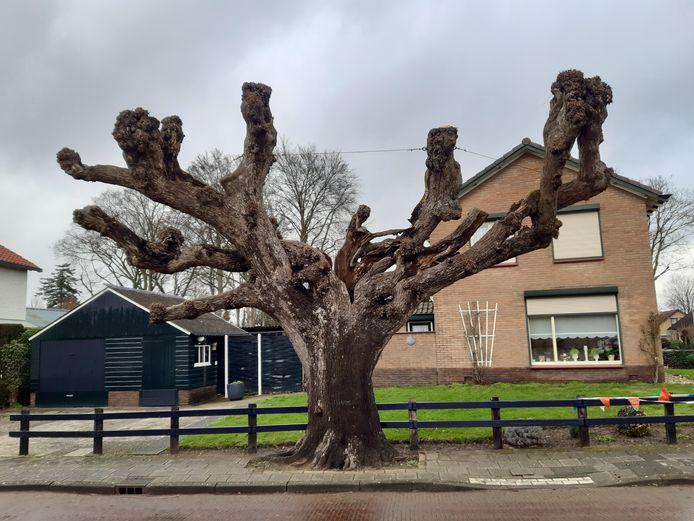 De eeuwenoude knotlinde aan de Regelinkstraat in Hengelo Gelderland, afgelopen week. Duidelijk is te zien dat hij na de zomer is gesnoeid.