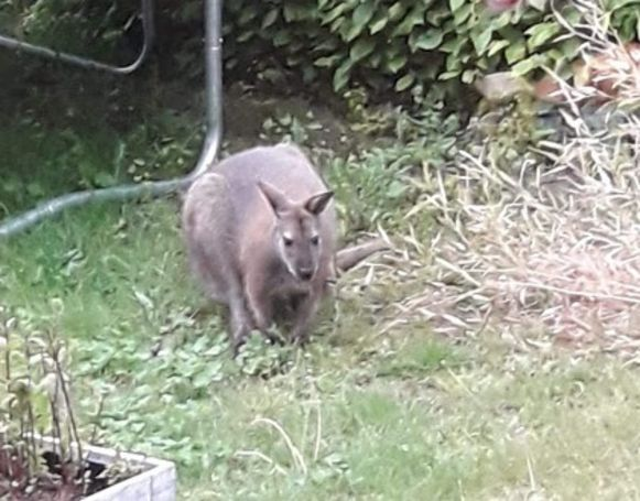 Wallaby on the loose in Wetteren.