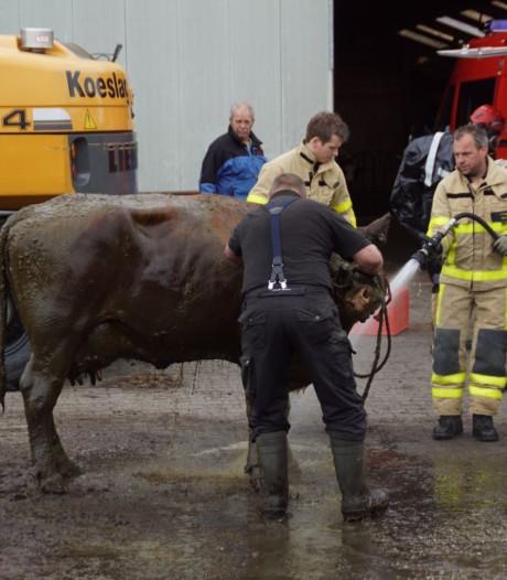 Koe door brandweer uit gierkelder gehaald