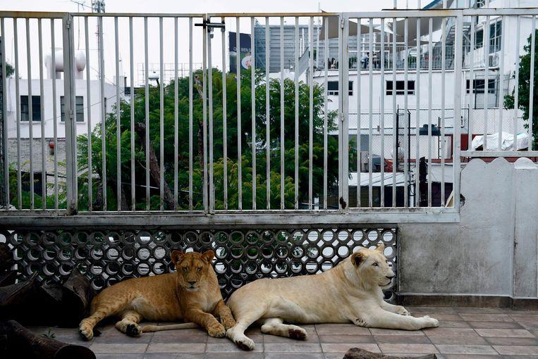 Nojoch en Gorda, twee van de drie leeuwen.