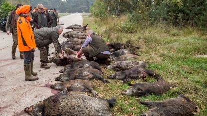 Limburg schoot 1.400 everzwijnen dood in 2018 (maar of dat genoeg is...?)