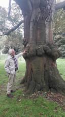 De bulten op de stam geven de plek aan waar de boom ooit als klein beukje op de onderstam is geënt.