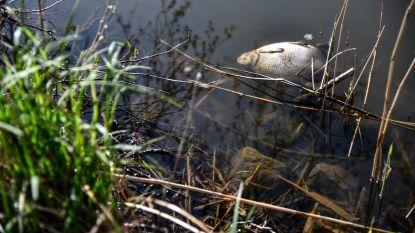 Tientallen dode vissen in Brusselse Forten en toch is water gezond: karperluis en ankerworm zijn oorzaak