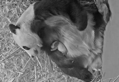 Babypanda in Ouwehands Dierenpark is een maand oud: 'Het jong lijkt nu al op een reuzenpanda'