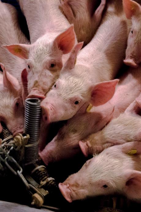 LTO: 'Stopregeling varkensboer niet voor Oost-Nederland'
