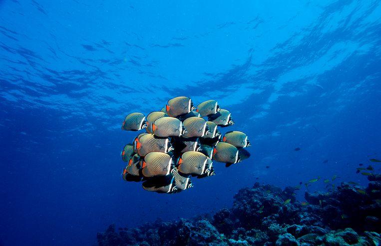 Een school koraalvlinders. Maar wie volgt wie?  Beeld Getty Images