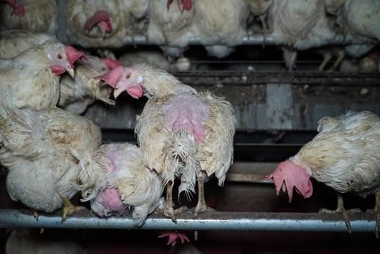 Kippen in een pluimveebedrijf in Groesbeek.