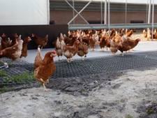 Einde ophokplicht: kip mag weer naar buiten