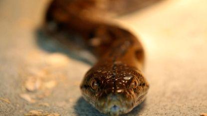 Man bijt slang dood nadat slang hem gebeten had