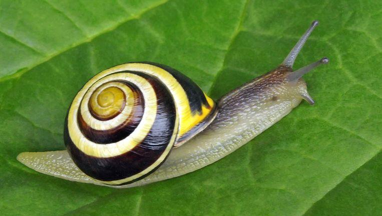 De tuinslak komt steeds vaker voor met een lichtgekleurd slakkenhuis.