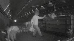 """""""Een helse lijdensweg van boer tot slachthuis"""": Animal Rights maakt schokkende beelden in kippenbedrijven"""