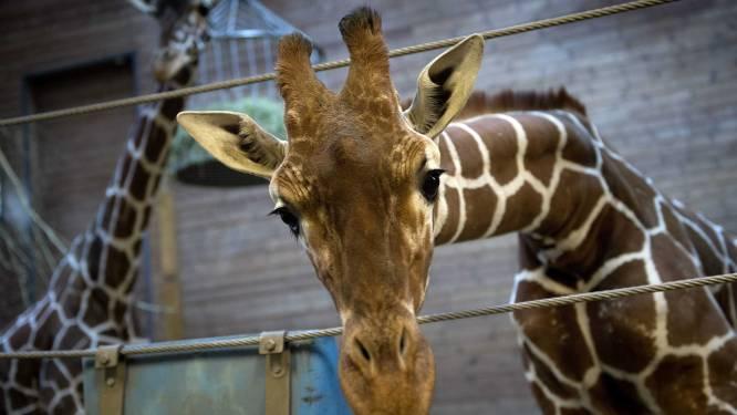 Moet zoo die giraf Marius afmaakte de deuren sluiten?