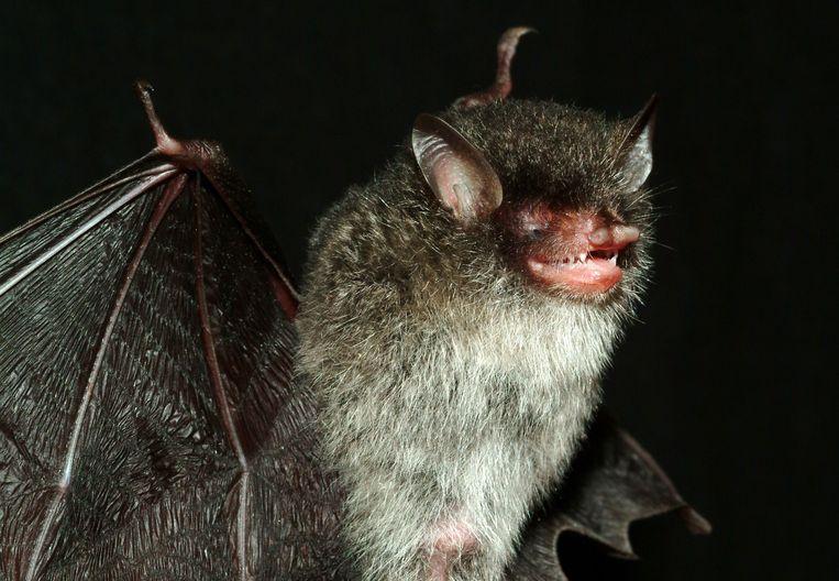 Beëlzebub-vleermuis Beeld AFP