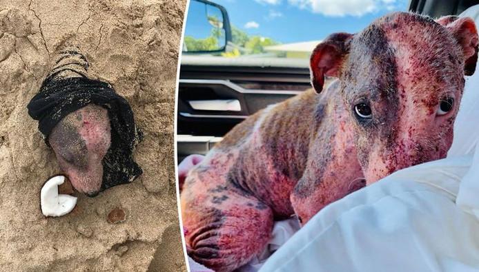 C'est un bénévole du refuge PAWS of Hawaii qui a trouvé la chienne enterrée dans le sable sur une plage de l'île la semaine dernière.