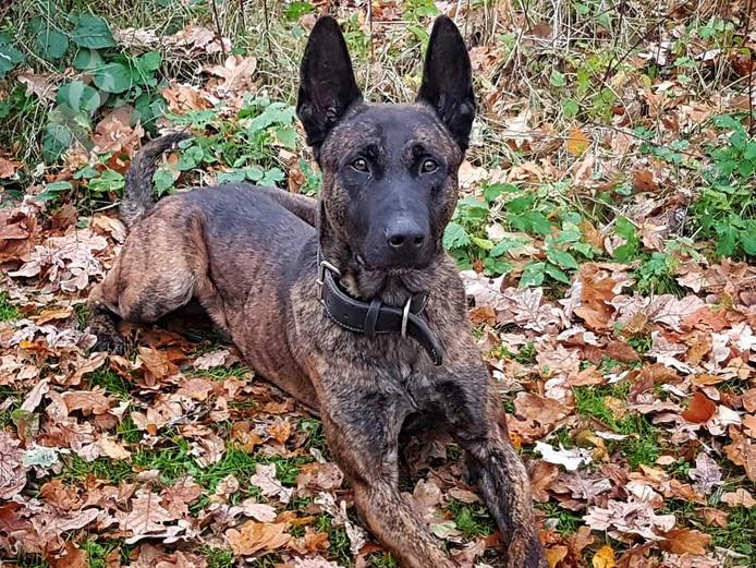 Politiehond Nero van de politie in Achterhoek-Oost.