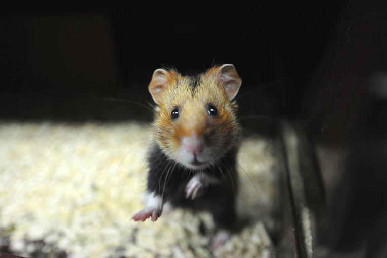 De Europese hamster plant zich steeds minder voort.