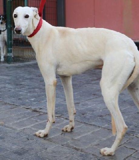 Ontsnapte, Spaanse adoptiehond Pico zwerft nu al drie maanden in de bossen: 'Pak hem bij zijn riem als je hem ziet'