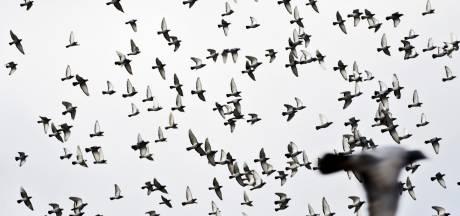 Duivenmelkers balen van gepamper van roofvogels: 'Ze eten onze duiven op'