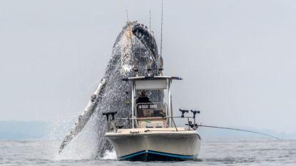 Vissersbootje wordt verrast door springende bultrug in Californië