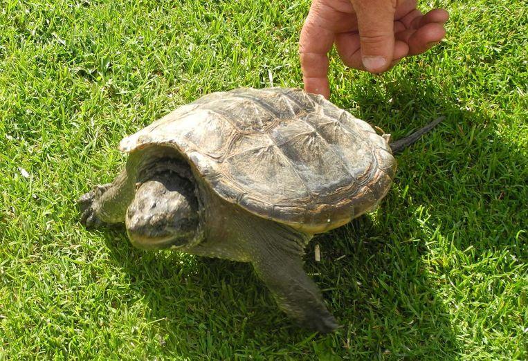 De alligatorschildpad die achtergelaten werd.