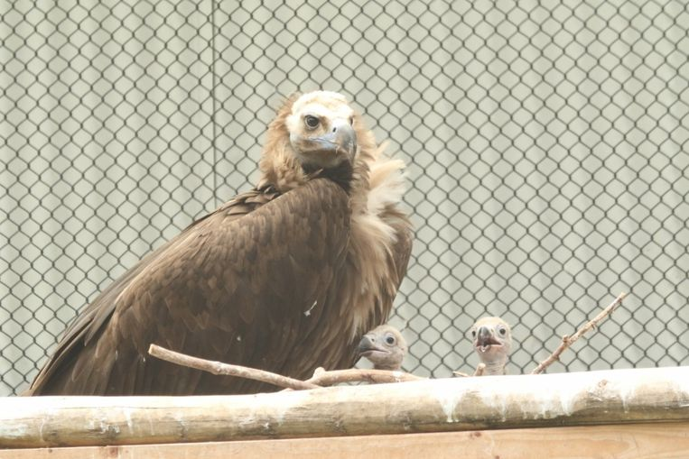 ZOO Planckendael slaagde er als eerste in om een dubbele adoptie te realiseren bij monniksgieren.