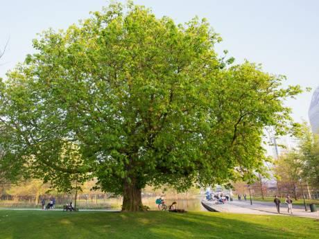 Kastanjeboom Koekamp in top 5 verkiezing Boom van het Jaar