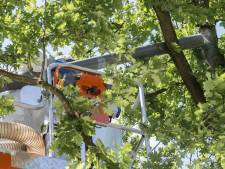 Gemeenten overspoeld met meldingen eikenprocessierups, overlast het grootst in Enschede